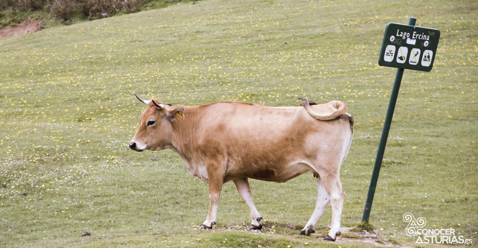 vaca en picos